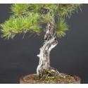 Pinus Densiflora, A17178