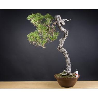 Pinus Densiflora, A17413