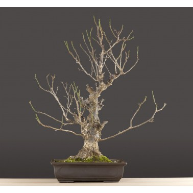 Prunus Mume, A21078