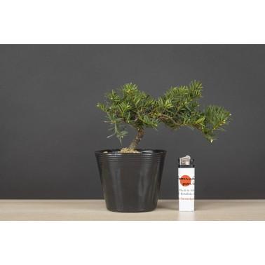 Taxus Cuspidata, A21627