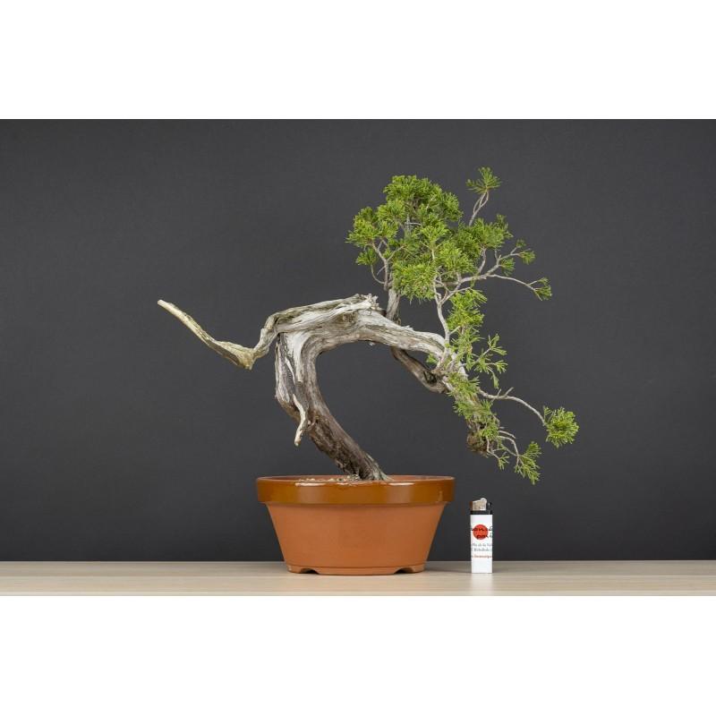 Juniperus Sabina Rastrera, A21642