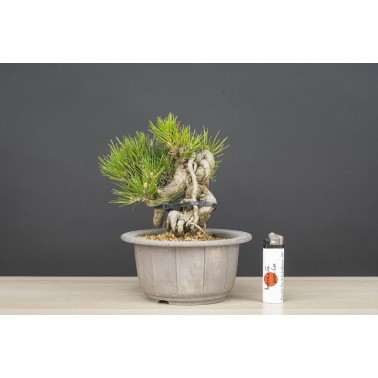 Pinus Thunbergii Negari, A21556