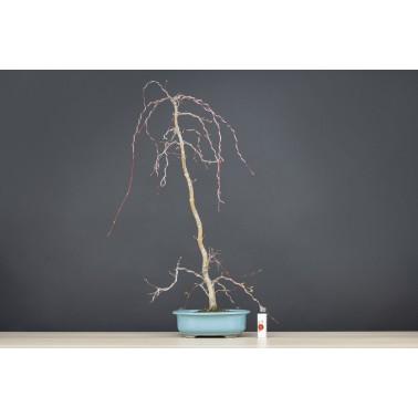 Acer Palmatum Yamamomiji, A21597