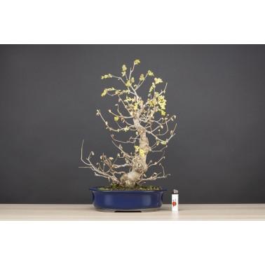 Corylopsis Spicata, A21536
