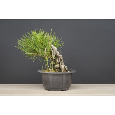 Pinus Thunbergii Negari, A21557