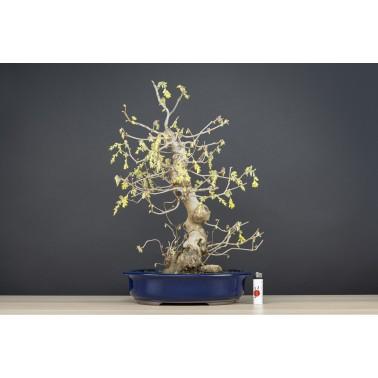 Corylopsis Spicata, A21594