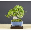 Gardenia, A16110